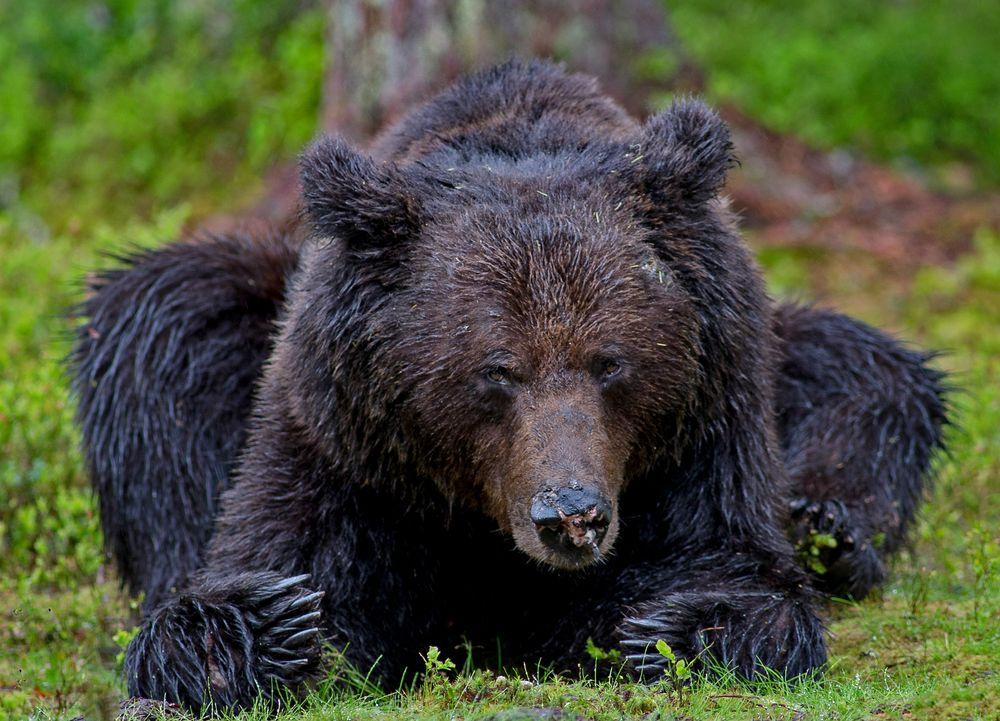 Photo in Animal #wildanimal #bear #wilderness #nature #animal #brownbear