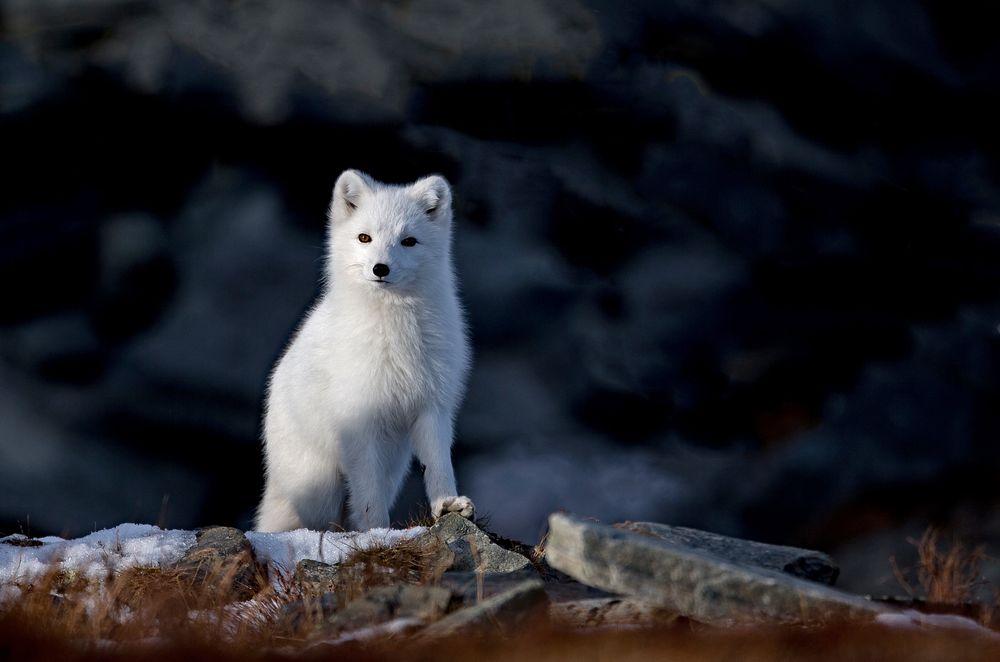 Photo in Animal #wildanimal #polarfox #nature #animal #wilderness
