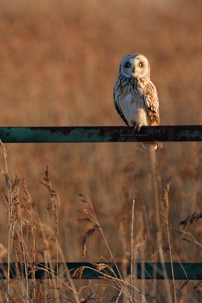 Photo in Nature #doñana #nature #owl #owls #shortearedowl #wildlifephotography #birding #naturephotography