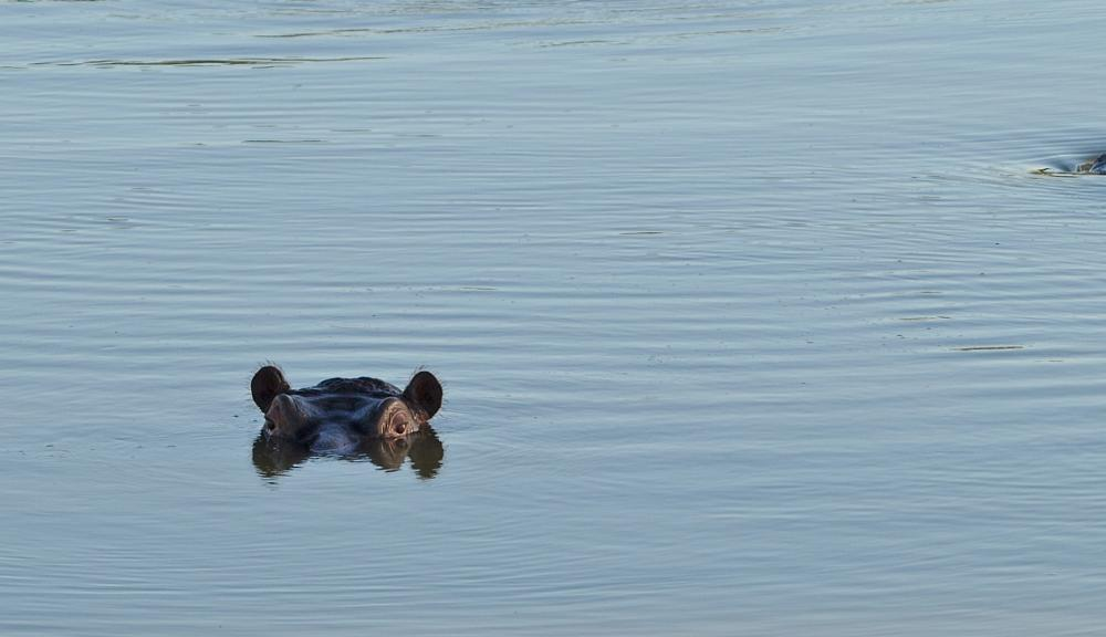 Photo in Animal #hippo #wildlife #africa #south africa