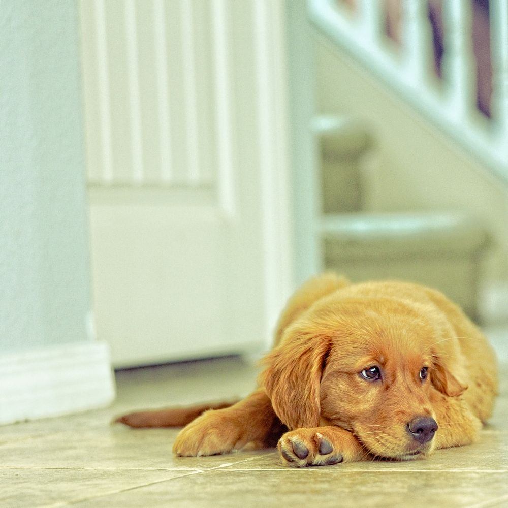 Photo in Random with model Piper  #dog #dogs #golden retriever #home #house