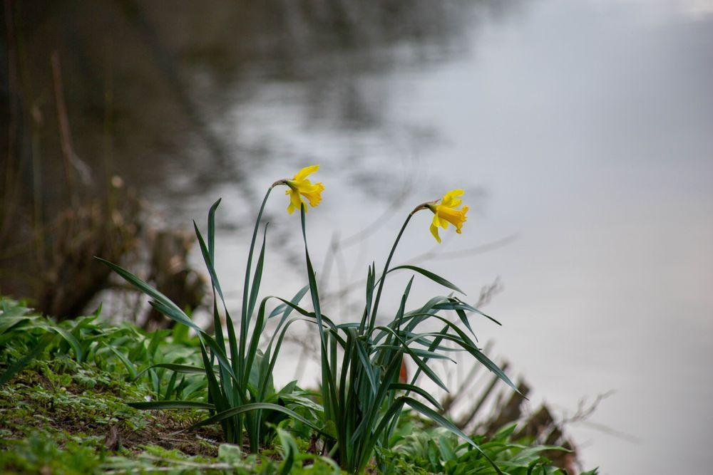 Photo in Random #daffodils