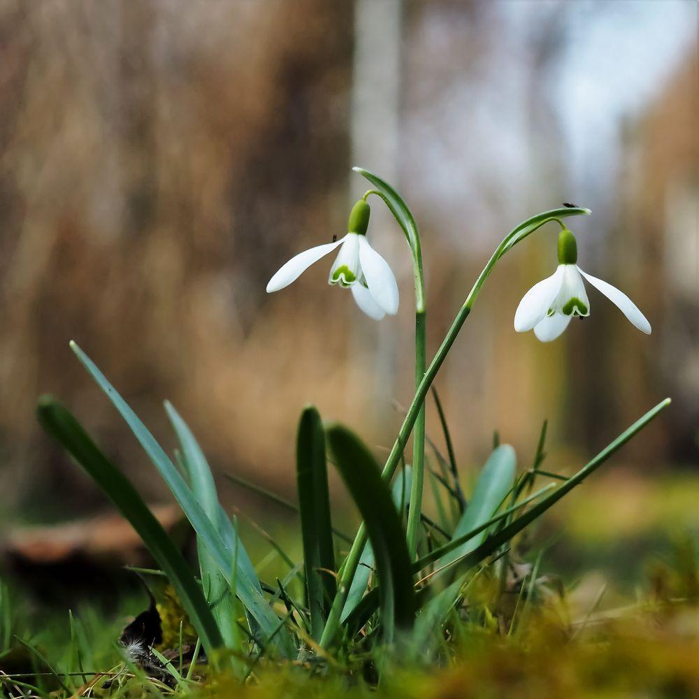 Photo in Nature #springtime #snowdrop #nature