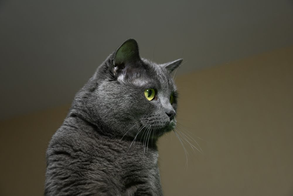Photo in Animal #cat #british shorthair #british cat #green eyes #cat photo #minion #photobonum
