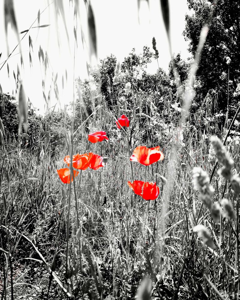Photo in Nature #black and white #nature #b&w #flowers #red