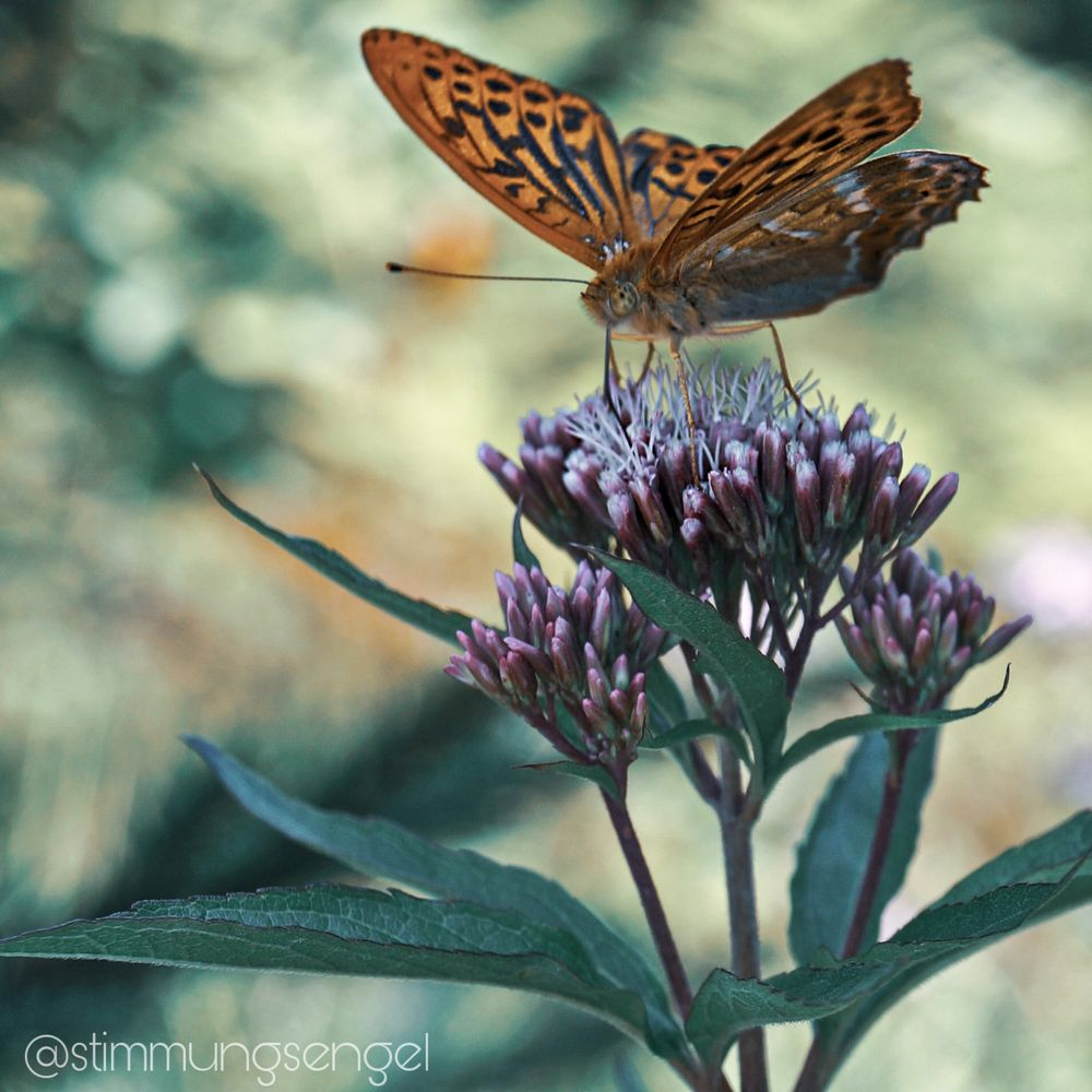 Photo in Nature #butterfly #summer #flower #bavaria #macro #nature