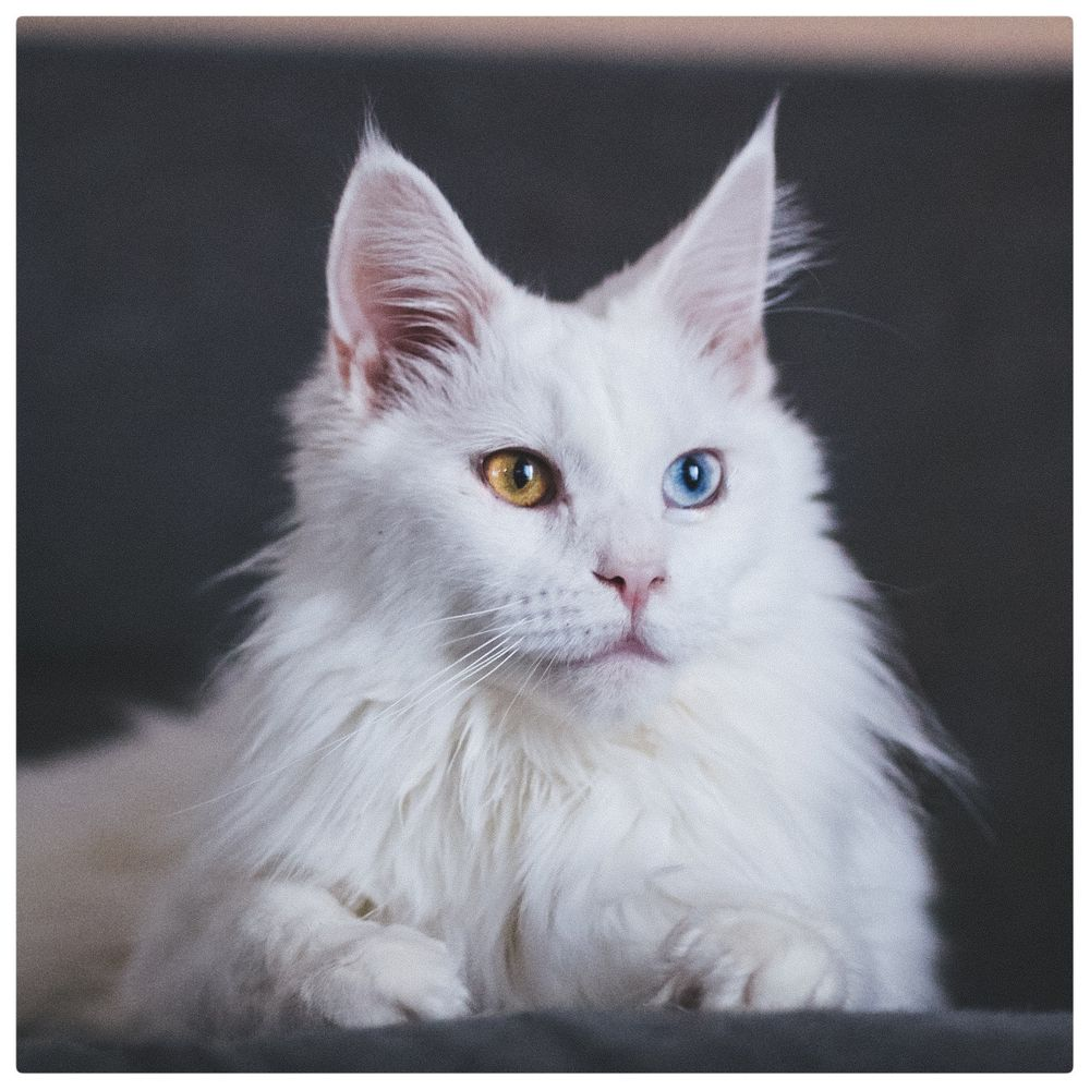 Photo in Animal #cat #cats #maine coon #pets #animal #vairons #chat #chats