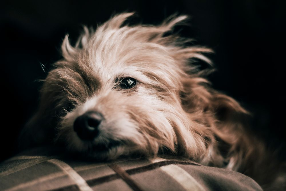 Photo in Animal #pet #dog #portrait #dark #moody #eyes #natural light #fluffy #canine #rest #nose #boop
