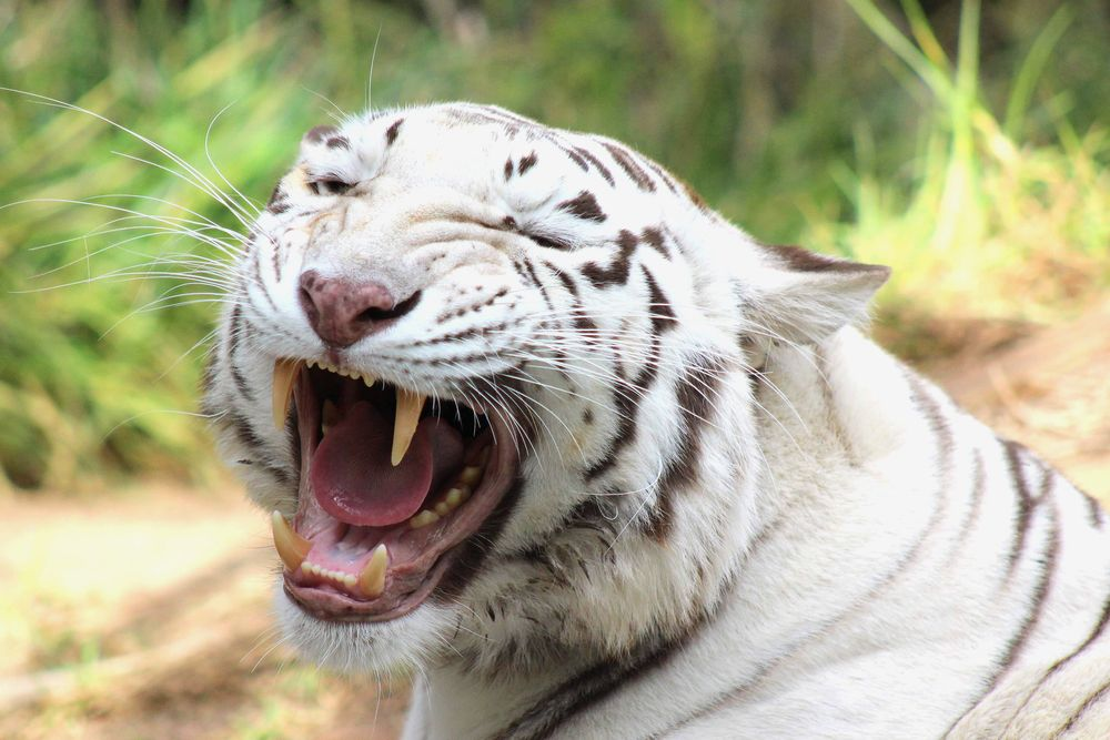 Photo in Animal #canonphotography #tigerphotography #whitetiger #conservation #animalconservation #savethetigers #naturephotography #bigcatphotography