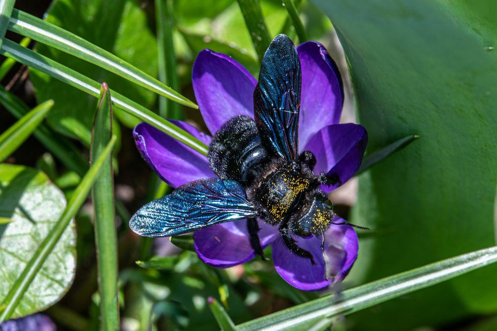 Photo in Animal #blaue holzbiene (xylocopa viol #blumen