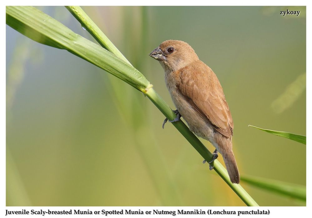 Photo in Animal #bird #munia #mannikin