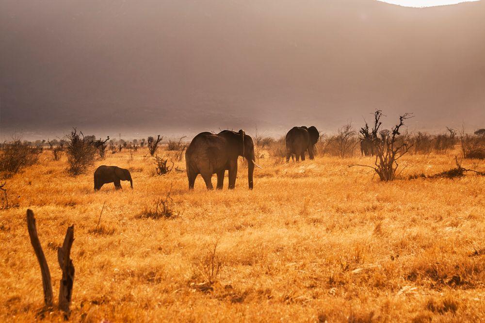 Photo in Landscape #elephant #animal #safari #tsavo #kenya #gold #landscape #or #sunset #evening