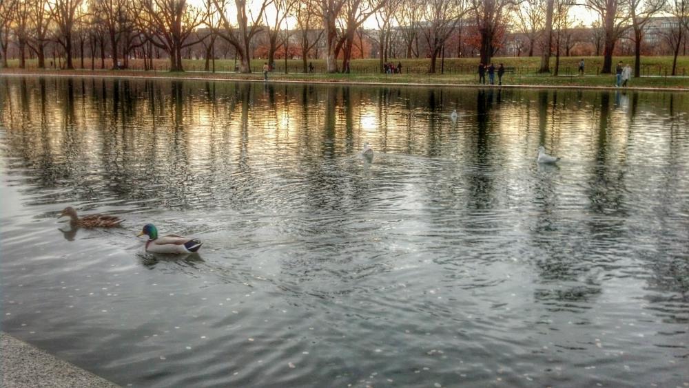 Photo in Random #ducks #capitol #water #reflection
