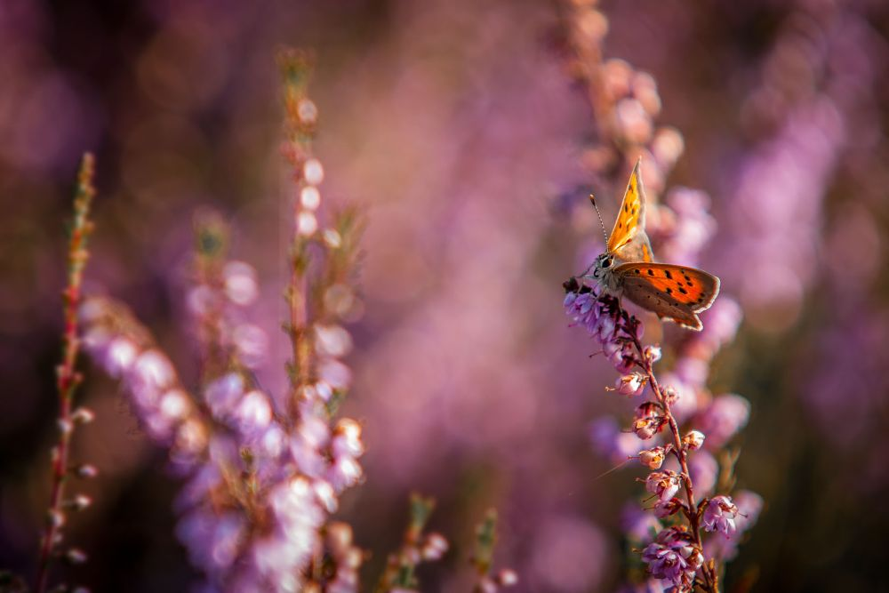 Photo in Nature #butterfly #jan linskens #nature #insect #pink #orange