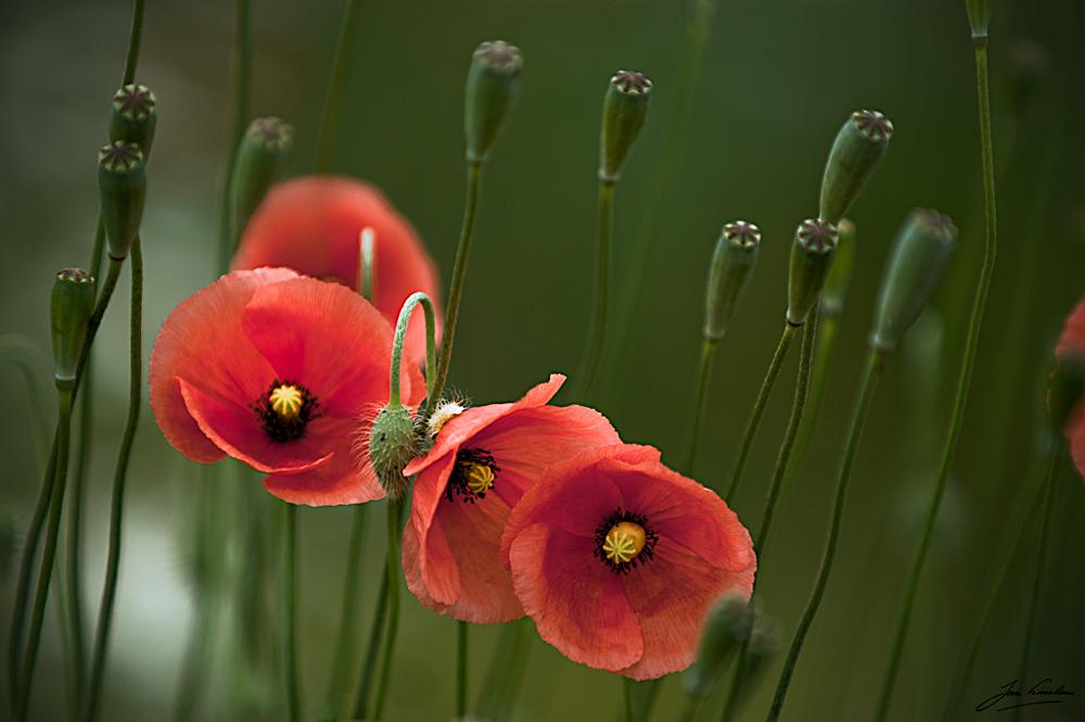 Photo in Nature #poppy #jan linskens #nature #flower #klaproos #natuur #bloem