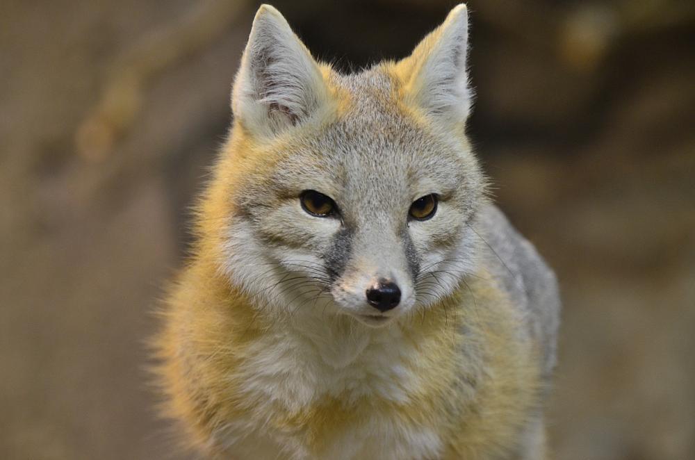 Photo in Animal #swift fox #animal #zoo #rotterdam
