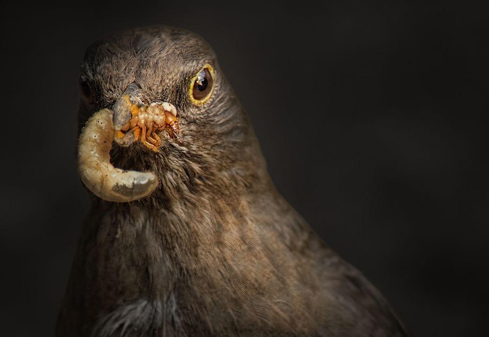 Photo in Animal #vogel #amsel #tier #larve
