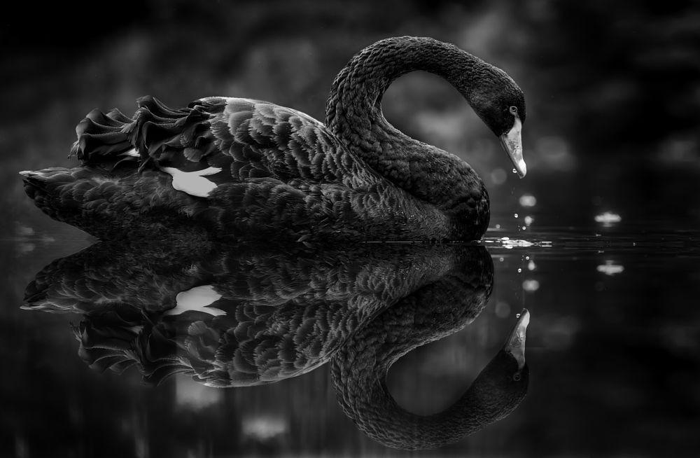 Photo in Black and White #animal #bird #swan #black #black and white #schwarz-weiß #waterdrops #reflexion #black swan #b&w