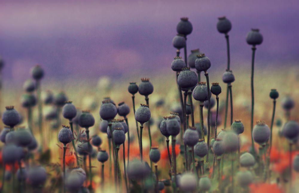 Photo in Landscape #nature #poppy #field #conceptual