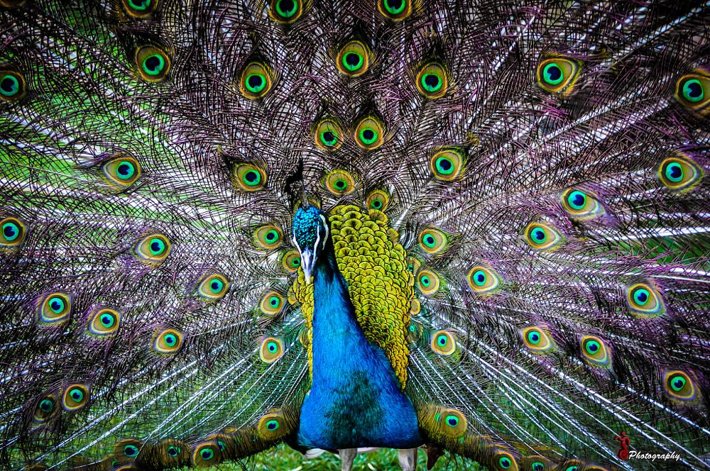 Photo in Animal #animals #peacock #colors