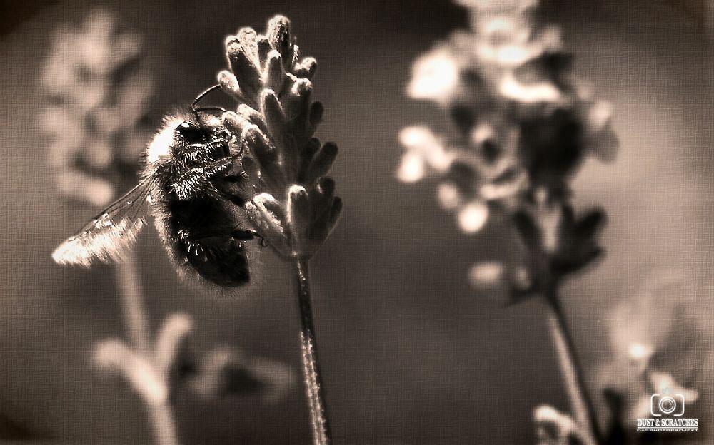 Photo in Nature #black #white #sepia #nature #bumblebee #garden #lavender #macro #canvas