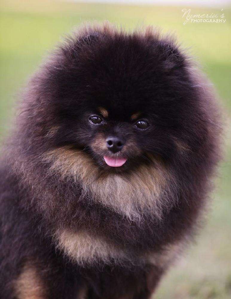 Photo in Animal #pomeranian #dog #pet #dog portrait