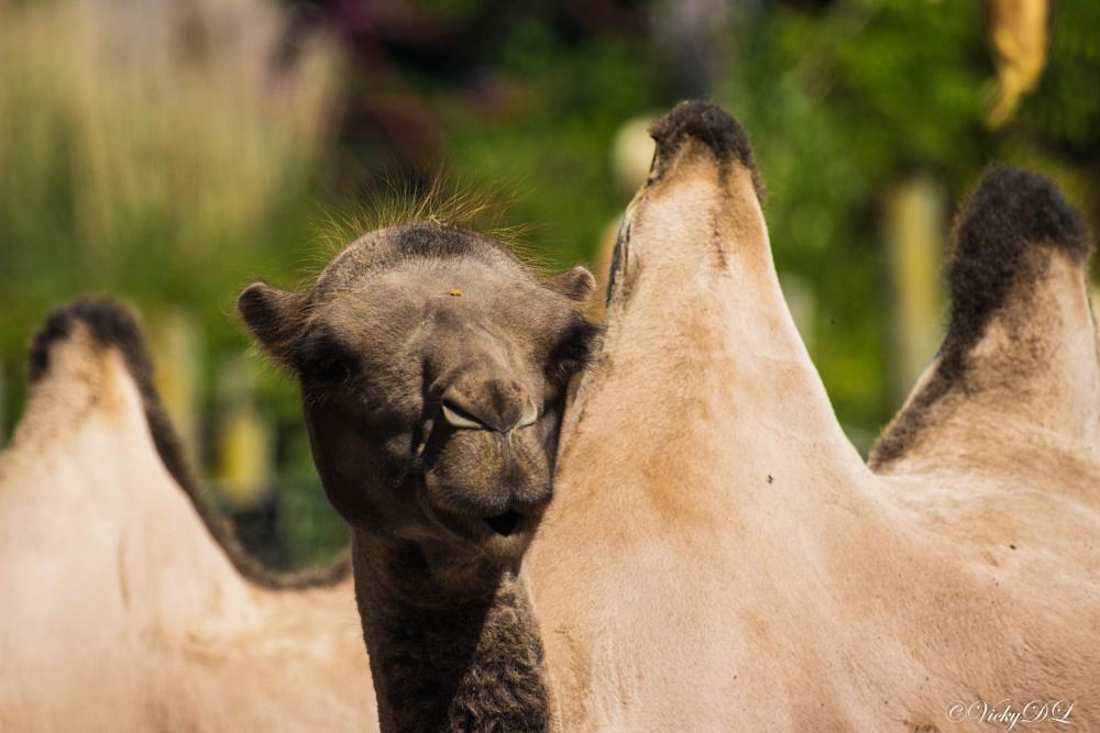 Photo in Animal #kameel #planckendael