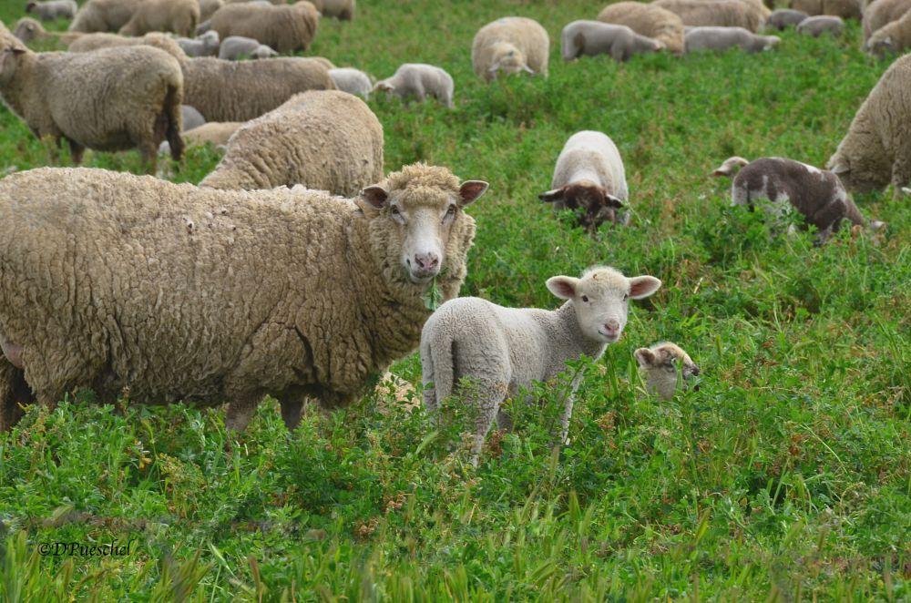 Photo in Animal #lambs #lambing season #lamb #sheep #bellies #barley #sweet faces #animal #twins