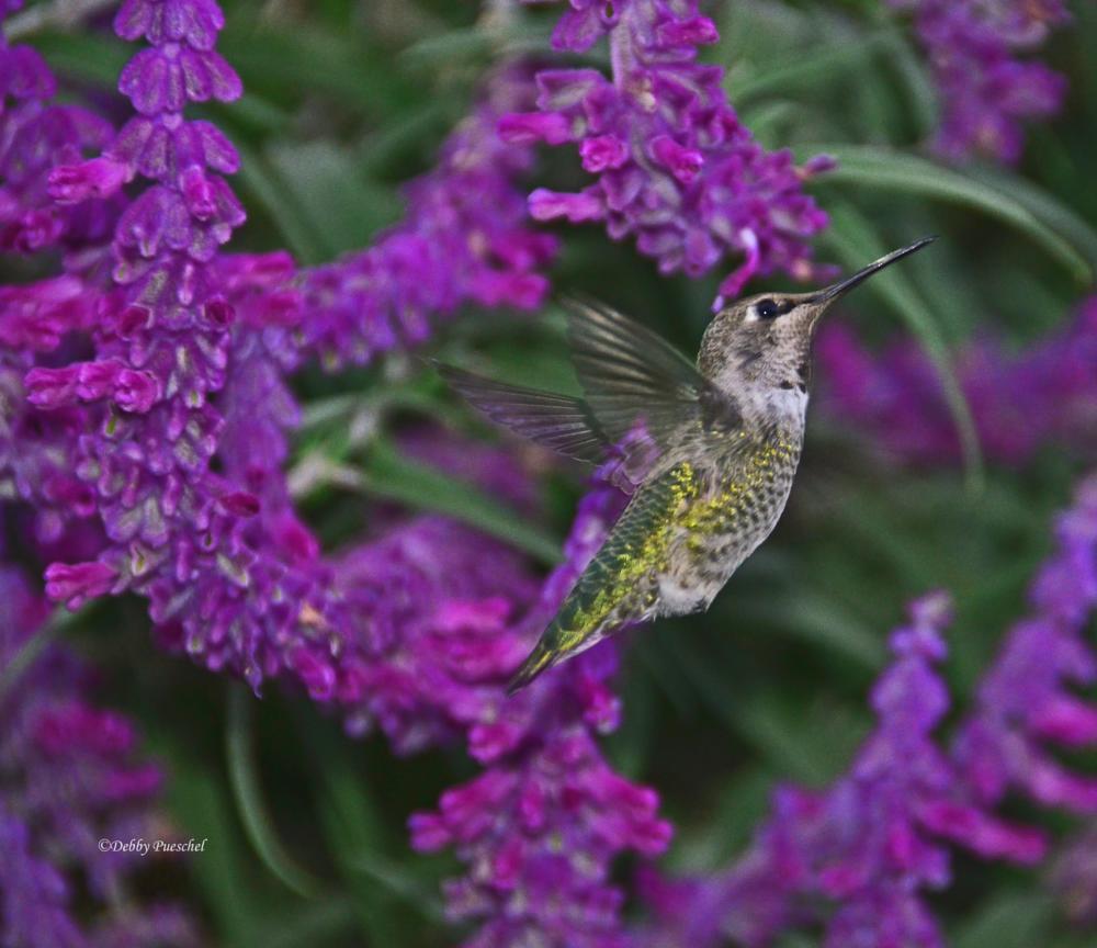 Photo in Animal #sage #purple #flight #hummingbird #setting #anna