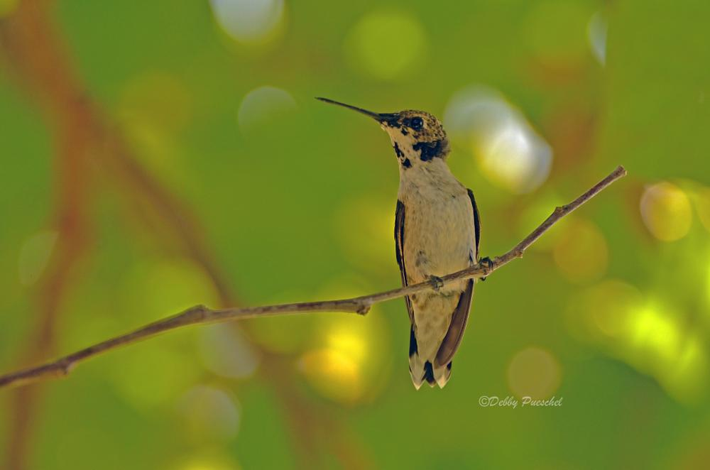 Photo in Animal #blackchinned hummingbird #hummingbird #nature #animal