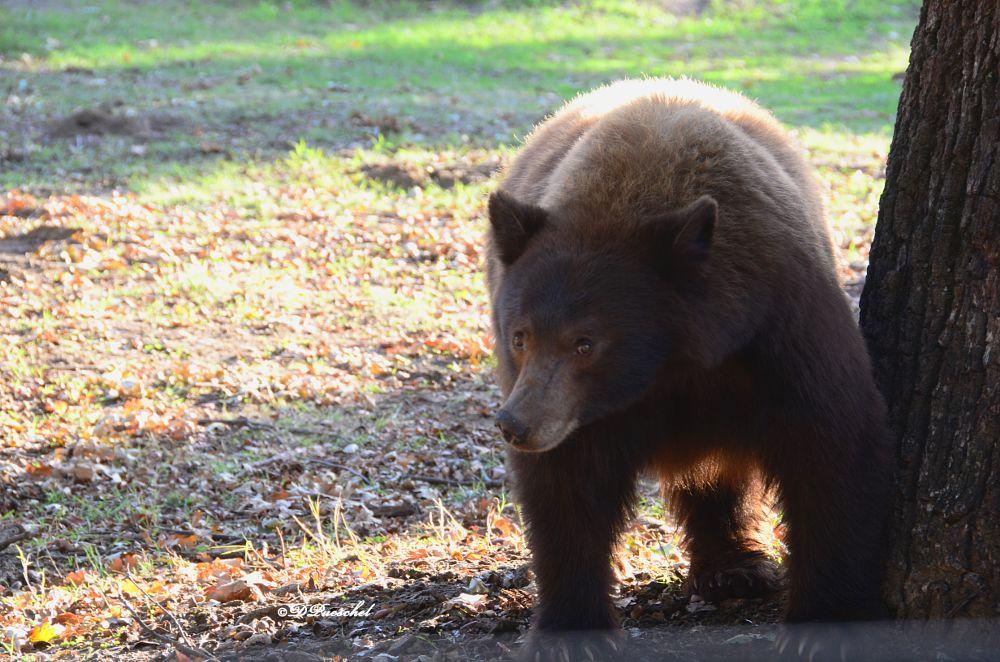 Photo in Nature #cinnamon bear #bear #claws #wild animal #black bear #young bear #climbed up tree #tree #unhappy #animal