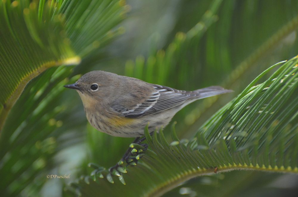 Photo in Nature #yellow rumped warbler #bird #nature #sago palm #warbler #sunlight #morning #sago #palm