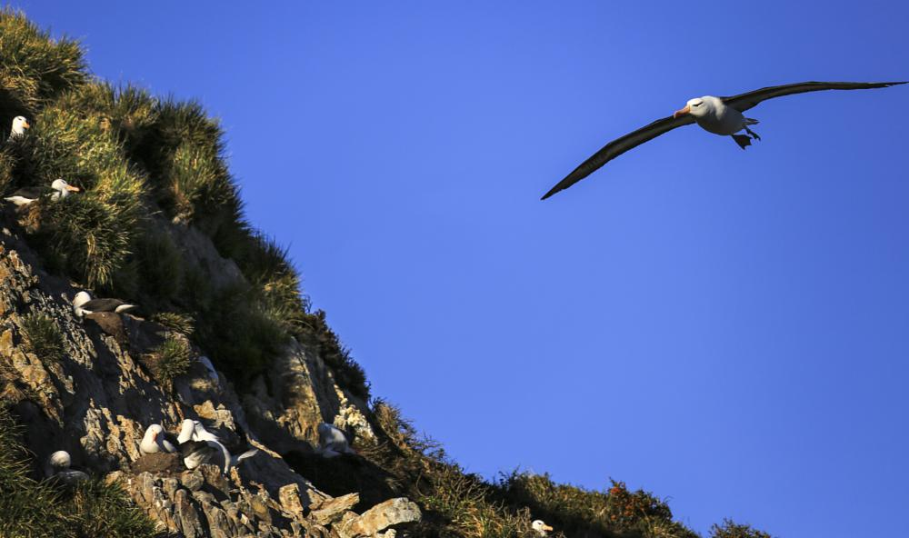 Photo in Animal #birds #albatross #patagonia #sky