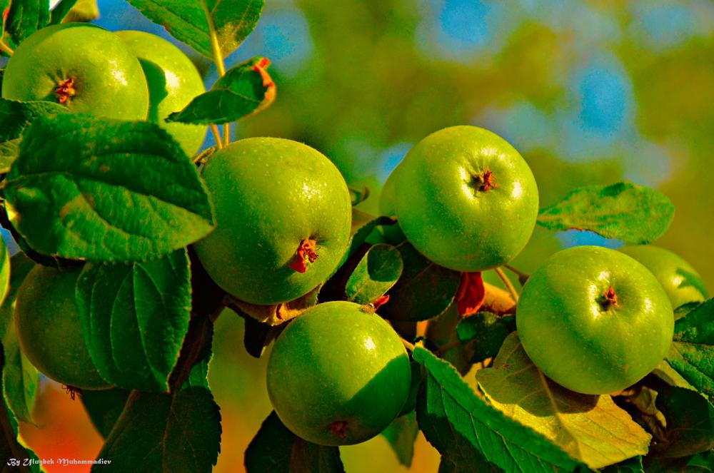 Photo in Nature #green #ipekakuana #apples #ulugbekmuhammadiev