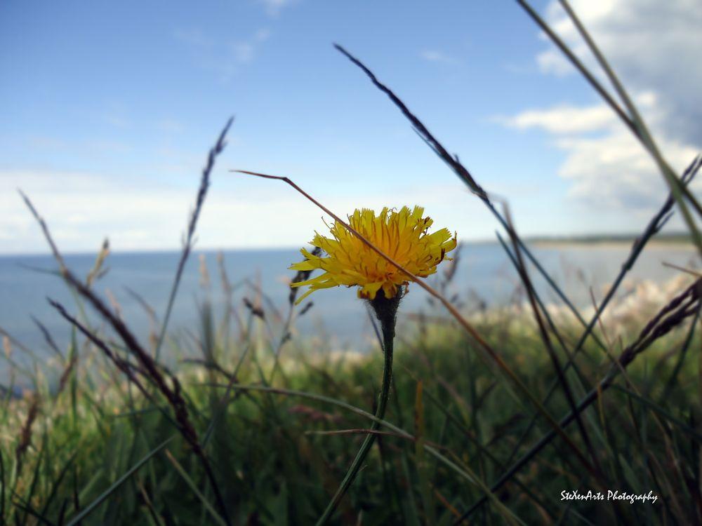 Photo in Nature #hawkbit #summer #yellow #flower #coast #sweden #closeup