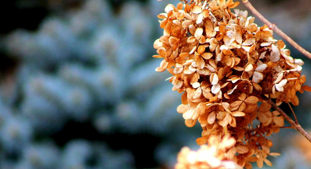 Photo in Nature #hydrangea #spruce #dried flowers