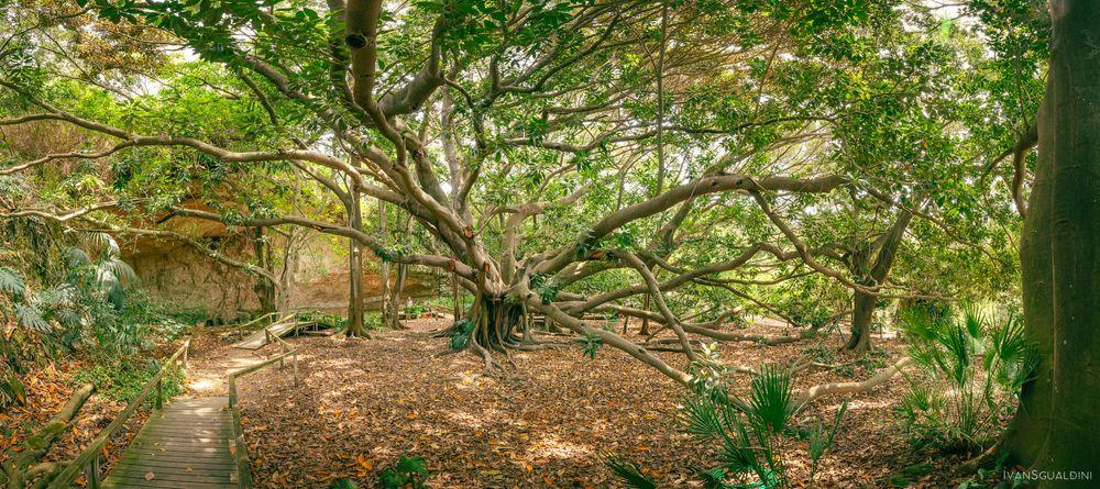 Photo in Landscape #ficus magnolioides #italy #ancient #botanical garden #cagliari #canon #earth #flora #garden #giant #mediterranean #nature #old #orto botanico #place to visit #plant #reserve #sardinia #species #tree