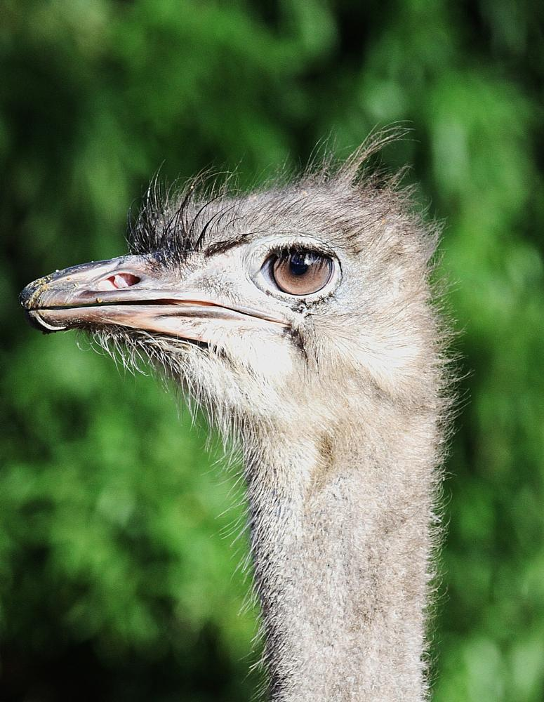 Photo in Random #ostrich - zoo antwerp