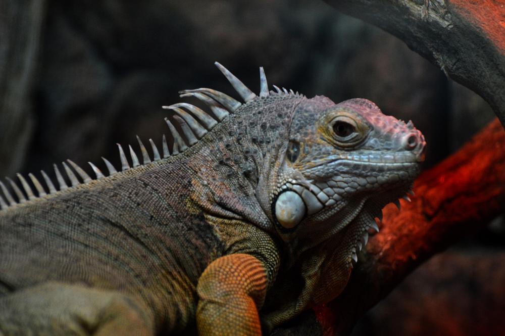 Photo in Animal #zoo #yerevanzoo #zooofyerevan #iguana #color #animal #animals #animalsofzoo #zooanimals