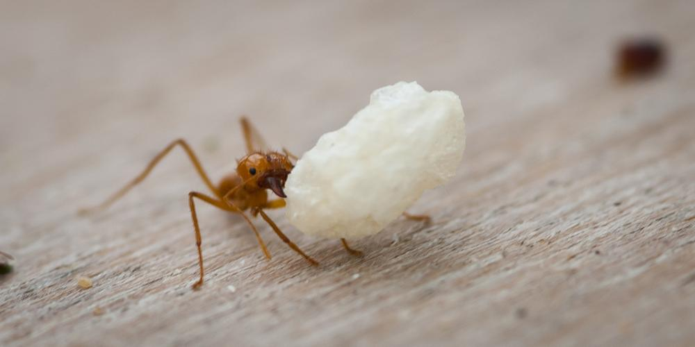 Photo in Animal #ant #red ant #rice krispie