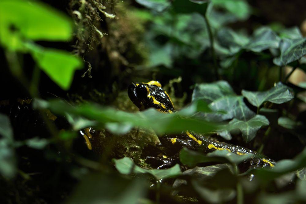 Photo in Nature #nature #natur #organism #species #animal #tier #salamander #fire salamander #amphibic #amphibie #enviroment #toxic