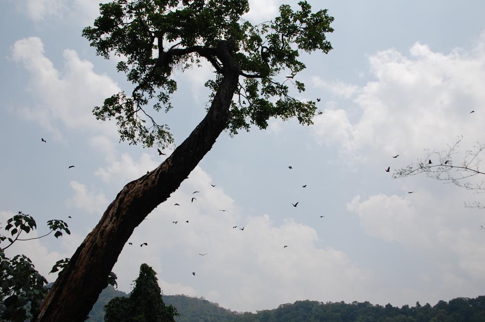 Photo in Animal #peradeniya royal botanical gar #bats