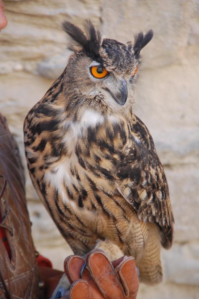 Photo in Animal #owl show #carcasonne