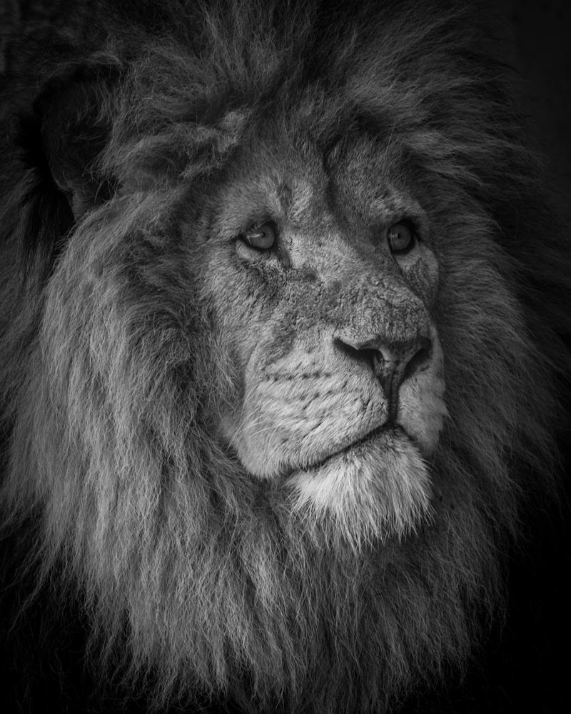 Photo in Animal #lion #animals #leica