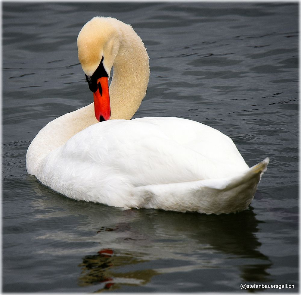Photo in Animal #swan