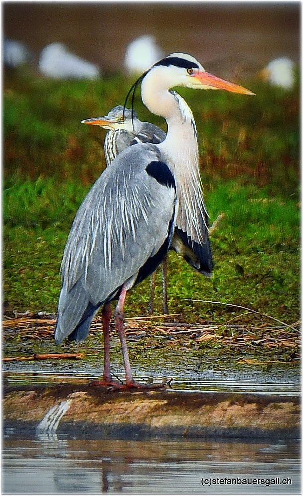 Photo in Animal #heron #gray heron