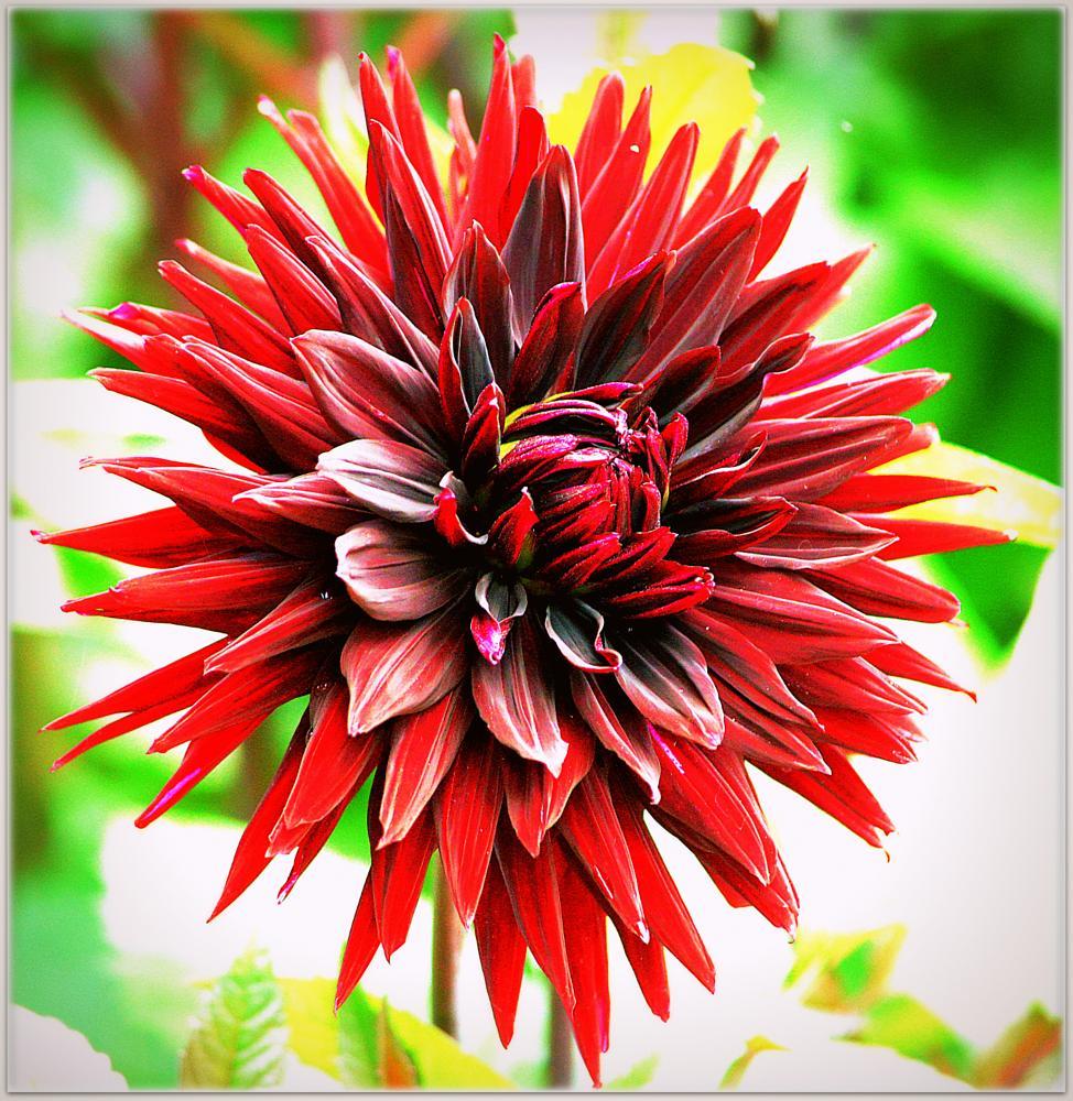 Photo in Nature #flower #dalia.
