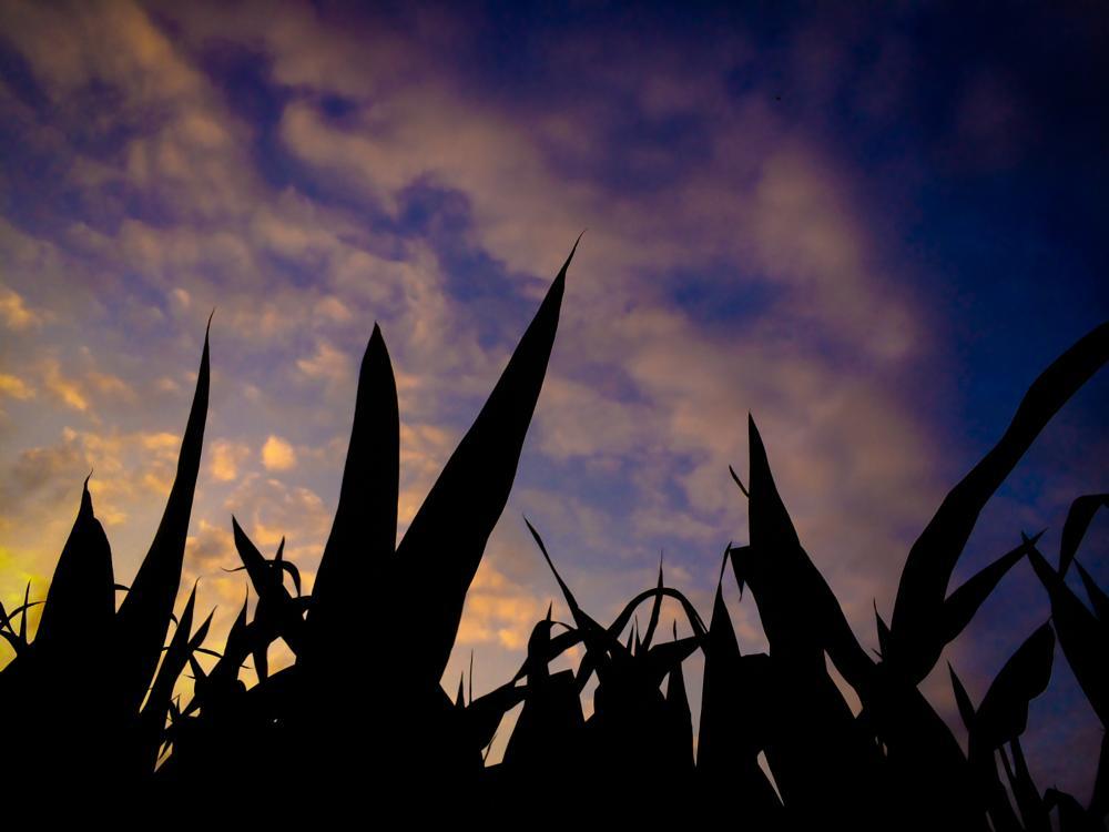 Photo in Nature #sky #corn #freedom