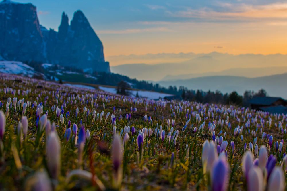 Photo in Landscape #spring #crocus #flower #landscape #dolomites #dolomiten #frühling #seiser alm #alpe di siusi #südtirol #south tyrol #alto adige #sunset #sonnenuntergang