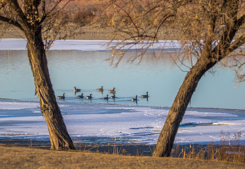 Photo in Nature #geese #goose #canada geese #snake river #river #ice #winter #cold #frozen #frost